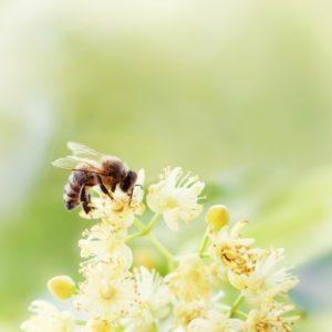 Bee harvesting pollen from flowers
