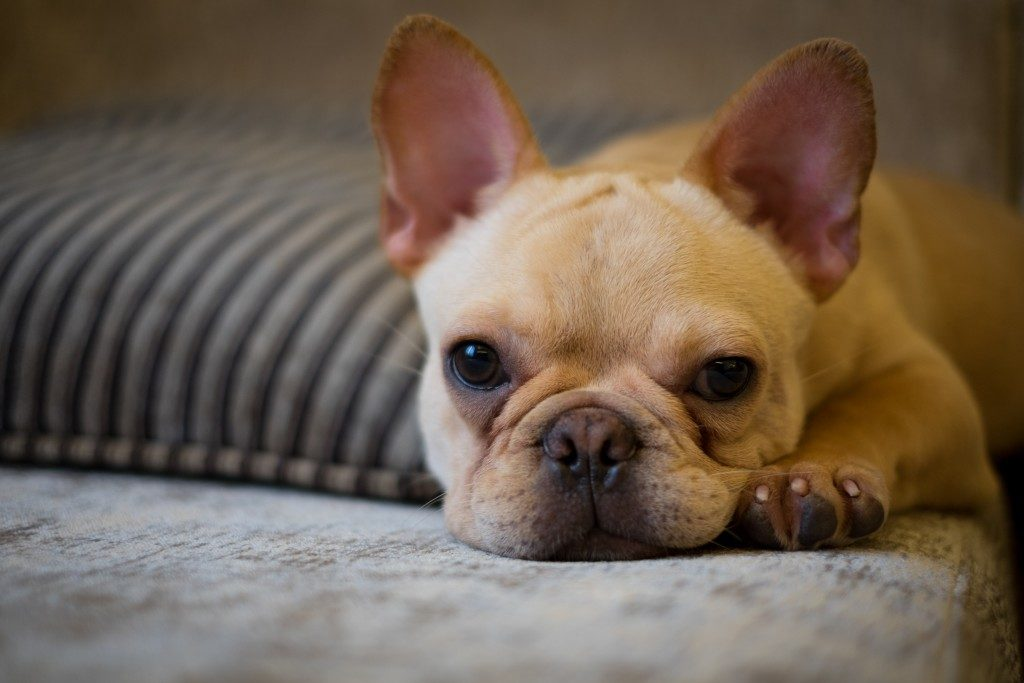 French bulldog puppy lying down