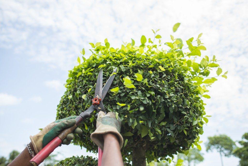 gardener trimming the tree
