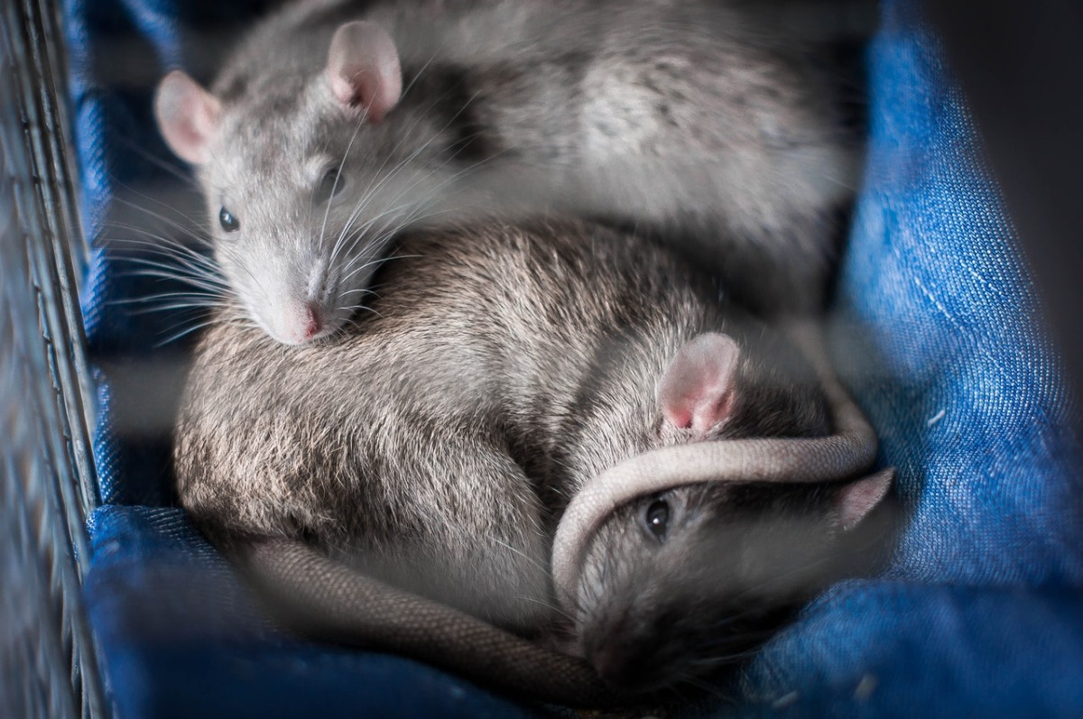 mice in a cage